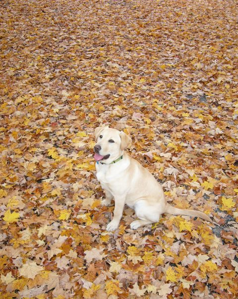 Yellow lab sitting on autumn leaves