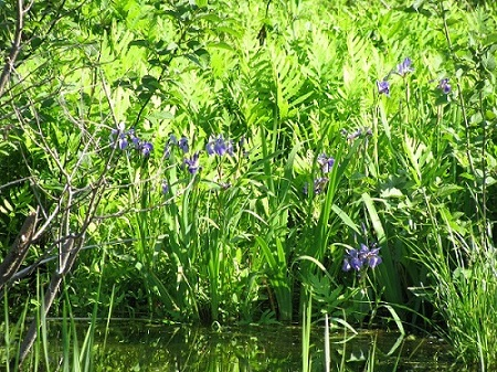 wild iris on waterway